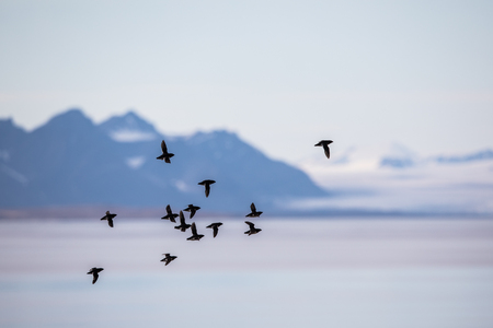 Little auks, Alle alle, flying in a flock in Spitsbergen, Svalbard, Norway