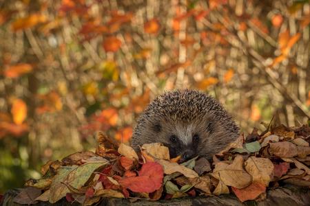 Egel in kleurrijke herfstbladeren in de camera kijken