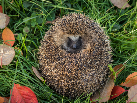 spiny: Wild Eurpean Hedgehog, Erinaceus europaeus, curled up in green grass