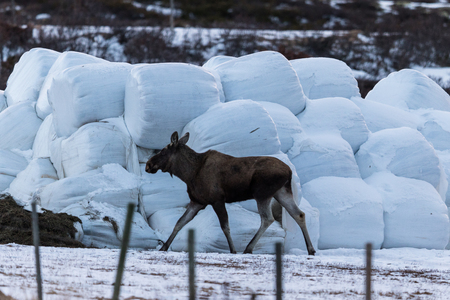 Elk or moose, Alces alces, walking towards haylage round bales to feed, on Dovre in Norway Stock Photo