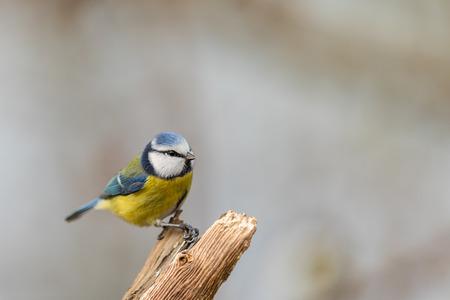 Blue tit Cyanistes caeruleus, sitting on top of a dead tree