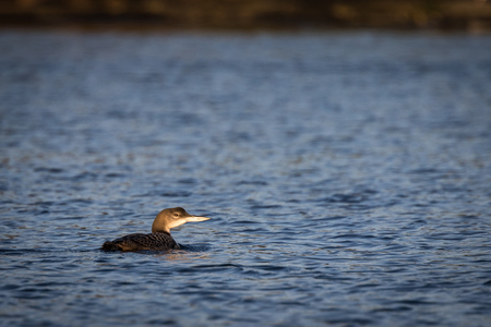 Common Loon Gavia immer swimming in the ocean in winter Stock Photo