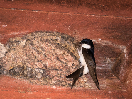 House Martin, Delichon urbicum, sitting on the nest under the roof on a house