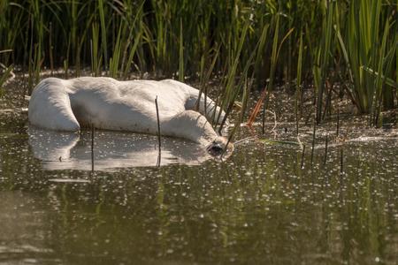 죽은 음소거 백조, 고 니 olor, 여름에 물에 떠있는, 백그라운드에서 푸른 잔디. 스웨덴, 유럽 스톡 콘텐츠 - 90602530