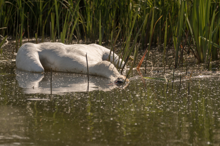 Dead Mute Swan, Cygnus olor, floating in the water in summer, green grass in the background. Sweden, Europe