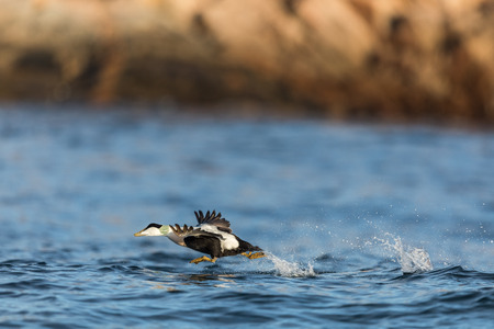 Common Eider male take off, bird is flying over the blue sea in Kristiansand, Norway