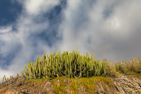 Green cactus and blue sky with white clouds. Puerto Rico Gran Canaria, Canary islands, Spain