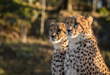 Two cheetahs, Acinonyx jubatus, looking to the left Stockfoto