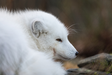 Portrait of an arctic fox, Vulpes Lagopus, male fox in white winter coat resting on the ground.