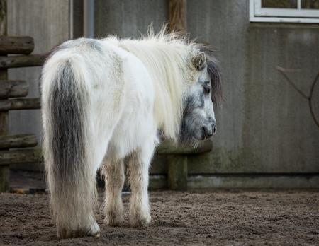 Shetland Pony standing sleeping