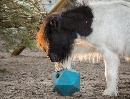 Shetland pony playing with ball, lifts his leg as he tries to get treats from horse ball toy