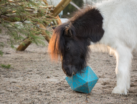 Shetland pony playing with ball, as he tries to get treats from horse ball toy Stock Photo