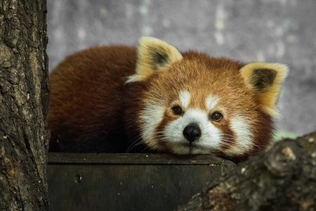Red panda, Ailurus fulgens, resting inside