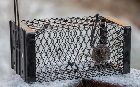 A Wood Mouse, Apodemus sylvaticus, in a live catch trap, standing outdoors in the snow