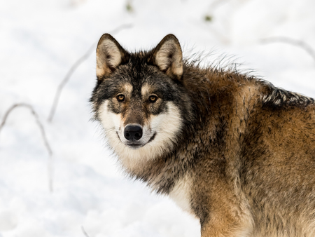 Gray wolf, Canis lupus, looking in camera. with snow in the background.