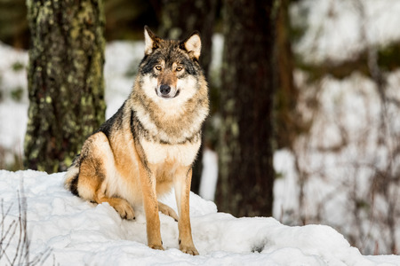 Gray wolf, Canis lupus, sitting and looking in camera with snow and forest in the background. Stock Photo