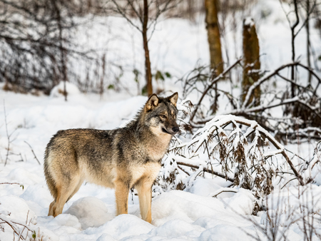 Gray wolf, Canis lupus, standing looking right, in a snowy winter forest.