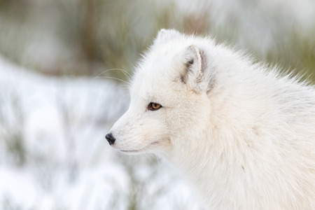 Arctic fox with winter fur, male animal, looking to the left, snow and bushes in the background.