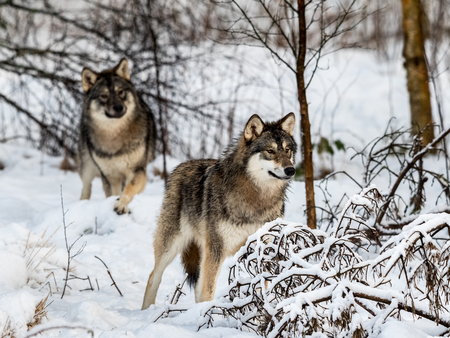 Two gray wolfs, Canis lupus, standing in snowy winter forest. Also known as timber wolf or timberwolf. Captive animals in Dyreparken, Kristiansand, Norway