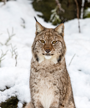 Eurasian lynx, Lynx lynx, sitting in the snow in Norway Foto de archivo