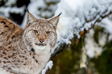 Eurasian lynx, Lynx lynx, in the snowy in Norway, captive animal Stock Photo