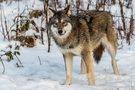 Grey wolf, Canis lupus, standing and looking towards cameraa, in a snowy winter forest in a zoo in Norway. Also known as timber wolf or timberwolf. Kristiansand, Norway. Stock Photo