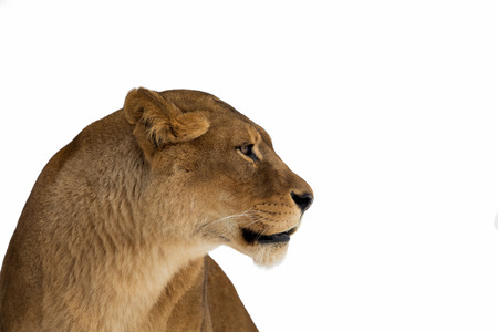 lioness portrait on white background Stock Photo
