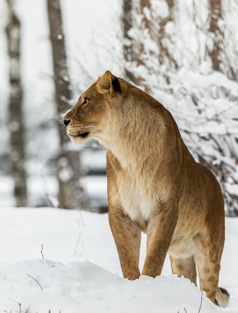 Lion, Panthera leo, Lioness standing in snow, bright background. Captive animal in a zoo in Kristiansand, Norway, the animals often choose to go outside in the cold snow even if they can stay inside.