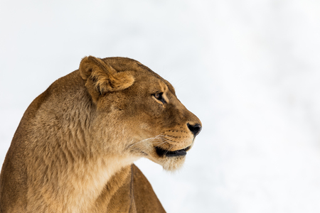 Female lion, Panthera leo, lionesse portrait, head on bright, soft background