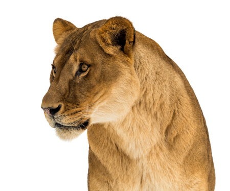 Female lion, Panthera leo, lionesse portrait, head and shoulders on white background