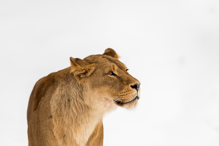 Female lion, Panthera leo, lionesse portrait, head on bright, soft background