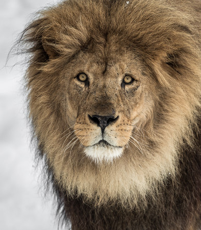 Male lion, Panthera leo, lion portrait on bright, soft background, lion looking at camera Stock Photo