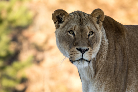 Female lion, Panthera leo, lionesse portrait, looking slightly to the right. Soft, sunlit background, space for text on left side