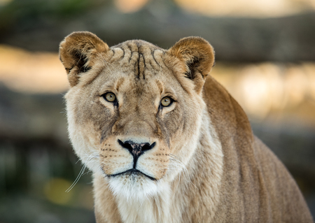 Female lion, Panthera leo, lionesse portrait, looking in camera with soft background