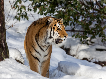 Siberian tiger, Panthera tigris altaica, walking in the snow in the forest. Looking right.