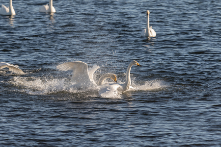 Swans conflict, Whooper swans, Cygnus cygnus, fighting in the water at Lista, Norway