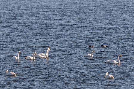 Whooper swans, Cygnus cygnus, and Mallard ducks in the Hananger water at Lista, Norway in march