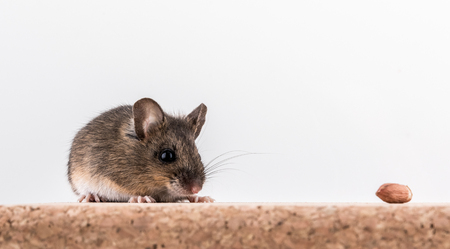 Side view of a wood mouse, Apodemus sylvaticus, sitting on a cork brick with light background, sniffing some peanuts Stock Photo