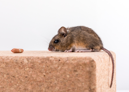 Side view of a cute wood mouse, Apodemus sylvaticus, sitting on a cork brick with light background, sniffing some peanuts Stock Photo