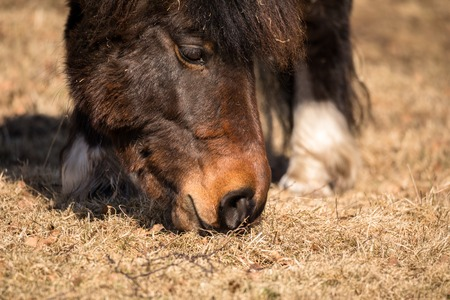 A close up of the muzzle of a pony grazing, eating brown winter grass in march Stock Photo