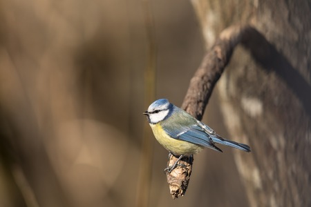 Blue Tit, Parus caeruleus, sits on a branch in the spring forest in Norway