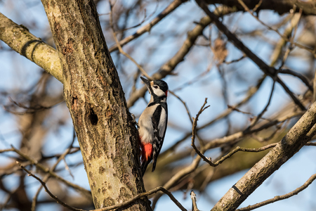 Great spotted woodpecker, Dendrocopos major, male bird sitting on a tree trunk in spring