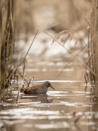 WATER RAIL Rallus aquaticus searching for food in the water between common reed, Phragmites australis, plants in Lillesand, Norway Stock Photo