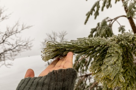 Hand touching the needles on a pine tree frozen during an ice storm. Snow and fog in the background