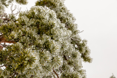 close up of the icy, frozen needles on a pine tree frozen during an ice storm in winter. Snow and fog in the background