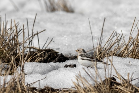 Snow bunting, Plectrophenax nivalis, sitting in snow on a field in spring in Sogne, Norway