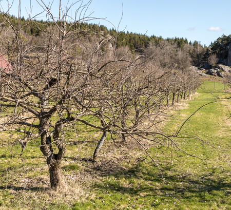 Row of old, naked apple trees in spring, growing on grass land
