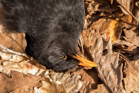 Dead bird in dead oak leaves. Blackbird, Turdus merula, lying in brown leaves on the ground. Close-up of the head. Stock Photo