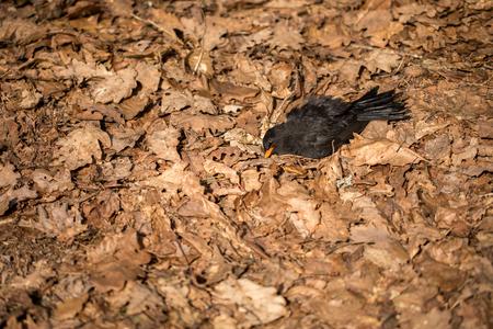 Dead bird lying in dead oak leaves. Blackbird, Turdus merula, lying in brown leaves on the ground.