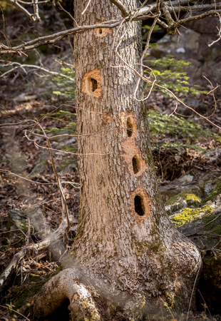 Tree trunk with several holes made by the Black Woodpecker, Dryocopus martius, looking for insects inside the tree.